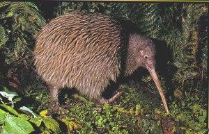 NZ Kiwi #2